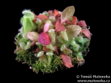 Cephalotus follicularis - láčkovice australská