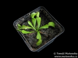 Mucholapka Dionaea muscipula - all green