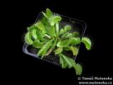 Mucholapka Dionaea muscipula - robustní červená klon A
