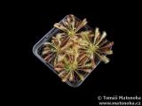 Drosera anglica × spathulata