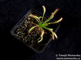Drosera capensis 'Narrow Leaf'