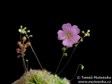 Drosera nitidula × ericksoniae