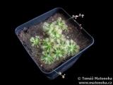 """Drosera pulchella """"orange flower"""""""
