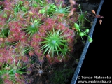 "Drosera sp. ""Lake Badgerup"""