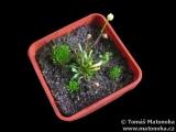 Genlisea pygmaea