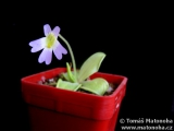 Pinguicula crystallina ssp. hirtiflora