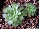 Pinguicula cyclosecta