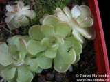 Pinguicula gracilis