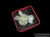 Pinguicula macrophylla