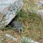 Divoká želva - Atény